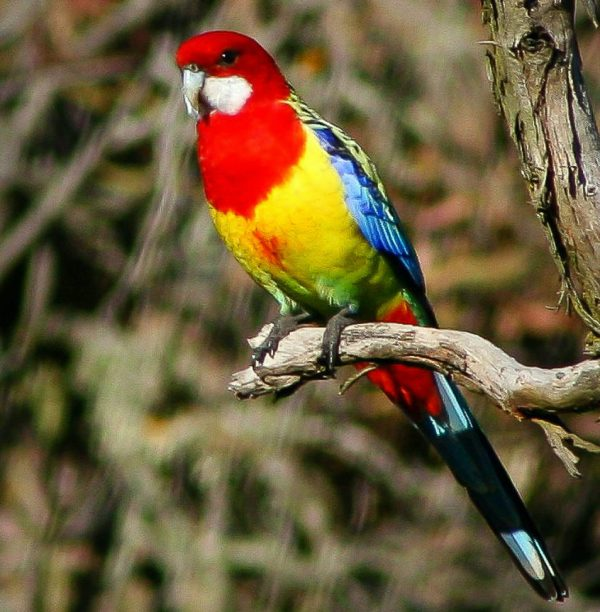 The eastern rosella is 30 cm long. It has a red head and white cheeks. The beak is white and the irises are brown. The upper breast is red and the lower breast is yellow fading to pale green over the abdomen. The feathers of the back and shoulders are black, and have yellowish or greenish margins giving rise to a scalloped appearance that varies slightly between the subspecies and the sexes. The wings and lateral tail feathers are bluish while the tail is dark green. The legs are grey. The female is similar to the male though duller in colouration and has an underwing stripe, which is not present in the adult male. Juveniles are duller than females and have an underwing stripe. The diet of eastern rosellas mainly consists of fruit, seeds, flowers and insects.