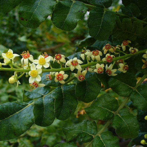 Rich and spicy with lemon and conifer-like undertones, Frankincense has long been treasured by spiritual communities for sacrificial and religious rites, and is celebrated in aromatherapy, perfumery and therapeutic circles.