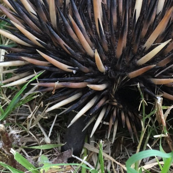 Visiting echidna at Integrity Candles's farm. Photo: Integrity Candles collection.