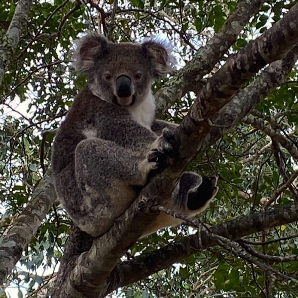 Handsome male Koala in residence on the farm at Integrity Candles. Photo by Linda Saul