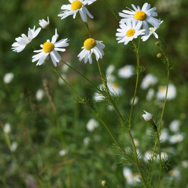 Cultivated for its calming and soothing properties, Chamomile grows in a carpet of tiny daisy-like flowers. Light apple in fragrance, these delightful, aromatic little flowers are utilised as teas, oils and tinctures across the globe.