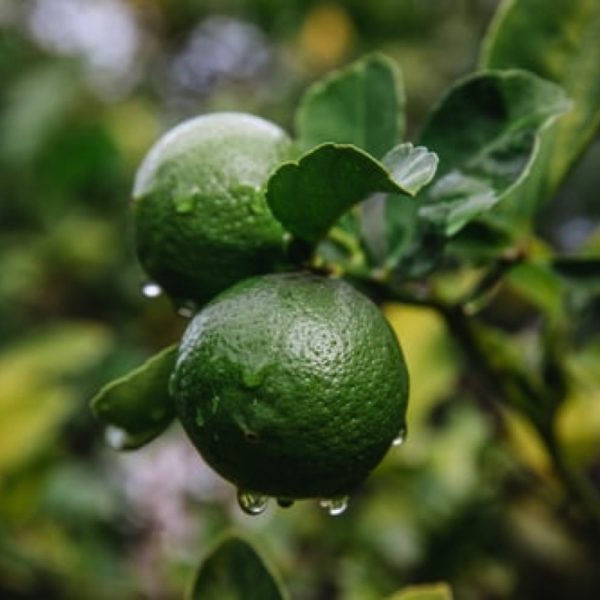 Rain-drenched limes ready for picking.