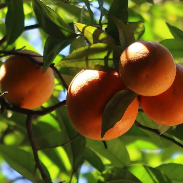 Sweet Orange essential oil is used in aromatherapy for its pleasant scent. It creates a warm environment, stimulates the strength and resilience of the immune system, and can eliminate airborne bacteria.