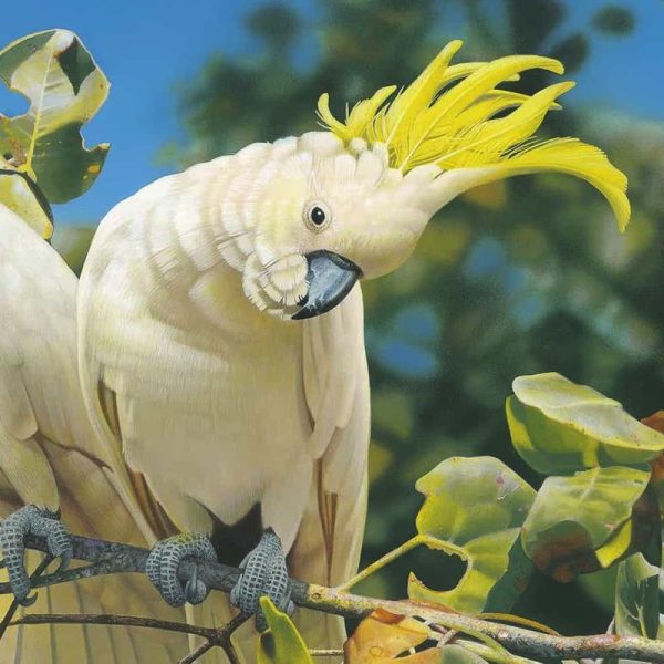 Sulphur-crested cockatoos are 44–55 cm long, with the Australian subspecies larger than subspecies from New Guinea and nearby islands. The plumage is overall white, while the underwing and -tail are tinged yellow. The expressive crest is yellow. The bill is black, the legs are grey, and the eye-ring is whitish. Males typically have almost black eyes, whereas the females have a more red or brown eye, These birds are naturally curious, and highly intelligent. Long-lived, living upwards of 70 years in captivity, although they only live to about 20–40 years in the wild. Their distinctive raucous calls can be very loud. Sulphur-crested Cockatoos nest in a bed of wood chips in a hollow of a tree. Like many other parrots it competes with others of its species and with other species for nesting sites.